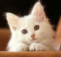 biela mačička